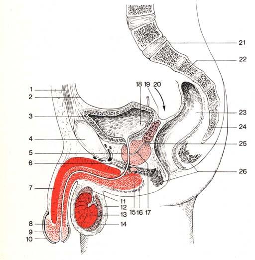 penis ein muskel