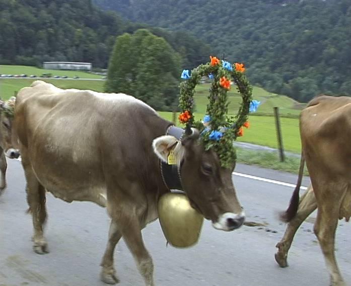 warum tragen kühe eine glocke